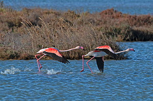 Greater flamingoes (Phoenicopterus roseus) pair running in order to take-off from a disused salt pan. La Tancada Salinas Nature Reserve, Ebro Delta, Catalonia, Spain  -  Roger Powell
