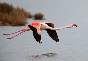 Greater Flamingo (Phoenicopterus roseus) taking-off from a disused salt pan. La Tancada Salinas Nature Reserve, Ebro Delta, Catalonia, Spain  -  Roger Powell