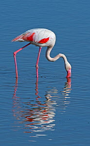 Greater Flamingo (Phoenicopterus roseus) feeding by stirring up mud (puddling) in shallow saline water on a disused salt pan. La Tancada Salinas Nature Reserve, Ebro Delta, Catalonia, Spain  -  Roger Powell
