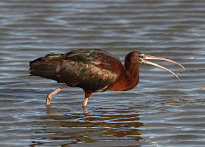 Glossy ibis (Plegadis falcinellus) catching food and tossing it down its throat. Riet Vell Nature Reserve, Ebro Delta, Catalonia, Spain, April.  -  Roger Powell