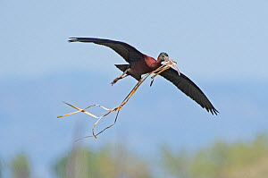 Glossy ibis (Plegadis falcinellus) flying in with nesting material to the breeding colony. Los Rodells Nature Reserve, Ebro Delta, Catalonia, Spain, April.  -  Roger Powell