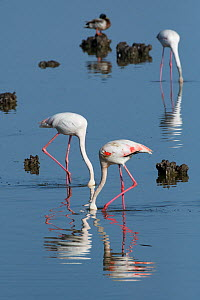 Greater flamingoes (Phoenicopterus roseus) feeding in a disused salt pan. La Tancada Salinas Nature Reserve, Ebro Delta, Catalonia, Spain, May.  -  Roger Powell