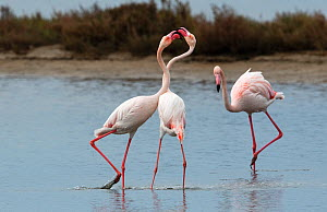 Greater flamingoes (Phoenicopterus roseus) fighting in a disused salt pan. La Tancada Salinas Nature Reserve, Ebro Delta, Catalonia, Spain, April.  -  Roger Powell