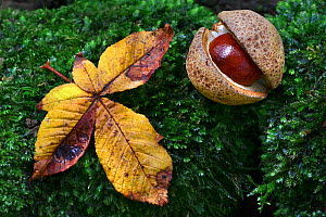Horse chestnut (Aesculus hipppocastanum) and fallen leaf on moss. Dorset, England, UK September.  -  Colin Varndell