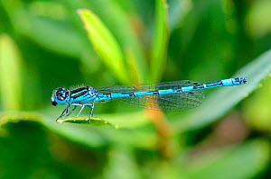 Southern damselfly (Coenargrion mercuriale) New Forest, Hampshire, England, UK, July.  -  Colin Varndell
