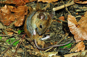 Wood mouse (Apodemus sylvaticus) grooming. Dorset, England, UK, May.  -  Colin Varndell