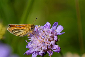 Essex skipper butterfly (Thymelicus lineola) nectaring on a Field scabious (Knautia arvensis) flower in a chalk grassland meadow, Wiltshire, UK, July  -  Nick Upton