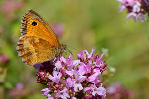 Gatekeeper / Hedge brown butterfly (Pyronia tithonus) nectaring on a Wild marjoram (Origanum vulgare) flowerhead, chalk grassland meadow, Wiltshire, UK, July.  -  Nick Upton