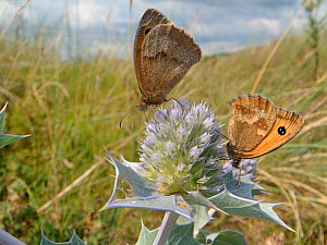 Gatekeeper / Hedge brown butterflies (Pyronia tithonus) nectaring on Sea holly flowers (Eryngium maritimum) in coastal sand dunes, The Gower, Wales, UK, August. - Nick Upton