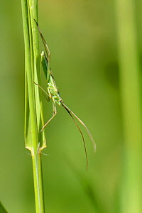 Grass mirid bug (Megaloceroea recticornis) well camouflaged as it stands on a grass stem in a chalk grassland meadow, Wiltshire, UK, July. - Nick Upton