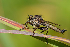 Kite-tailed robberfly (Machimus atricapillus) standing on grass blades on the look-out for aerial insect prey, chalk grassland meadow, Wiltshire, UK, July.  -  Nick Upton