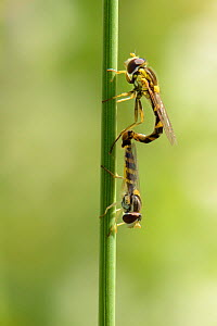 Long hoverfly (Sphaerophoria scripta) pair mating on a grass stem in a chalk grassland meadow, Wiltshire, UK, July. - Nick Upton