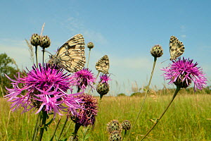 Three Marbled white butterflies (Melanargia galathea) nectaring on Greater knapweed flowers (Centaurea scabiosa) in a chalk grassland meadow, Wiltshire, UK, June. - Nick Upton