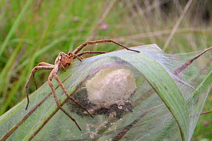 Nursery web spider (Pisaura mirabilis) female animal guarding her spiderlings, recently hatched from an egg sac within a silken tent on vegetation in a marsh, Dorset, UK, July. - Nick Upton