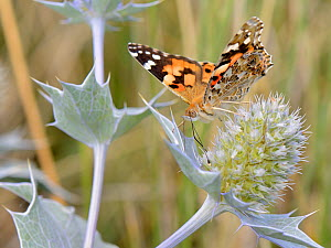 Painted lady butterfly (Vanessa cardui) nectaring on Sea holly flowers (Eryngium maritimum) in coastal sand dunes, The Gower, Wales, UK, August. - Nick Upton