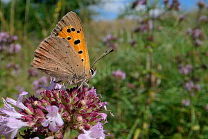 Small copper butterfly (Lycaena phlaeas) nectaring on Wild marjoram flowers (Origanum vulgare) in a chalk grassland meadow, Wiltshire, UK, July. - Nick Upton