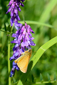 Small skipper butterfly (Thymelicus sylvestris) nectaring on Tufted vetch flowers (Vicia cracca) in a woodland ride, Wiltshire, UK, July. - Nick Upton