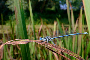 White-legged damselfly (Platycnemis pennipes) male resting on a riverbank rush, River Avon, Wiltshire, UK, July.  -  Nick Upton