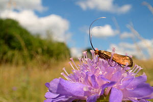 Brassy longhorn moth (Nemophora metallica) female standing on a Field scabious (Knautia arvensis) flower, the host plant for the larvae of this species, chalk grassland meadow, Wiltshire, UK, July. - Nick Upton