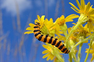 Cinnabar moth caterpillar (Tyria jacobaeae) feeding on a Ragwort flower (Senecio jacobaea) in a meadow, Wiltshire, UK, July. - Nick Upton