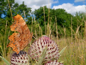 Comma butterfly (Polygonium c-album) nectaring on a Woolly thistle (Cirsium eriophorum) flowerhead in a chalk grassland meadow, Wiltshire, UK, July. - Nick Upton