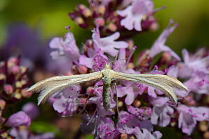 Dingy white plume moth (Merrifieldia baliodactylus) resting on a Wild marjoram (Origanum vulgare) flowerhead, the larval food plant for this species, in a chalk grassland meadow, Wiltshire, UK, July.  -  Nick Upton