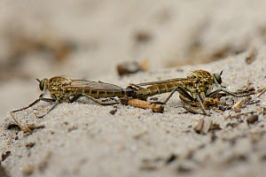 Dune Robberfly (Philonicus albiceps) pair mating on a sandy path, Studland Heath, Dorset, UK, July.  -  Nick Upton
