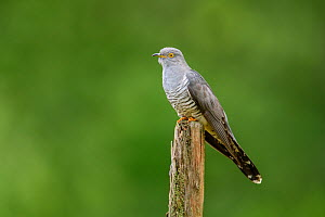 Cuckoo (Cuculus canorus) perched on fence post. UK. June - Oscar Dewhurst