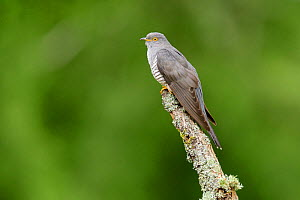 Cuckoo (Cuculus canorus) perched on lichen-covered branch. UK. June  -  Oscar Dewhurst