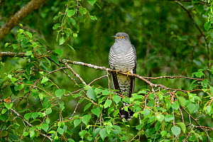 Cuckoo (Cuculus canorus) perched on tree branch. UK. June. - Oscar Dewhurst