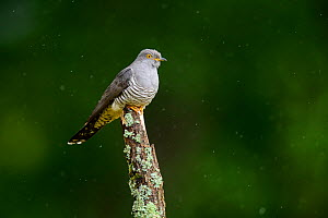 Cuckoo (Cuculus canorus) perched on lichen-covered branch in the rain. UK. June  -  Oscar Dewhurst