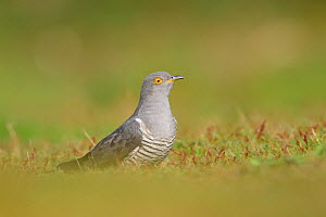 Cuckoo (Cuculus canorus) foraging on the ground. UK. April.  -  Oscar Dewhurst