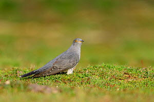 Cuckoo (Cuculus canorus) foraging on the ground. UK. April - Oscar Dewhurst