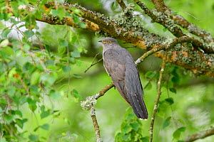 Cuckoo (Cuculus canorus) perched on tree branch. UK. June - Oscar Dewhurst