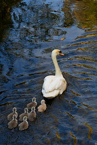 Mute swan (Mute swan (Cygnus olor) cygnets following parent swimming. London, UK. April  -  Oscar Dewhurst