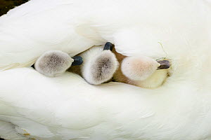 Mute swan (Cygnus olor) cygnets on parent's back. London, UK. April.  -  Oscar Dewhurst