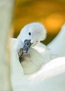 Mute swan (Cygnus olor) preening on its parent's back. London, UK. April.  -  Oscar Dewhurst