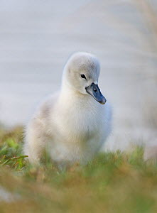 Mute swan (Cygnus olor) cygnet on grass. London, UK. April  -  Oscar Dewhurst