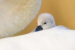 Mute swan (Cygnus olor) cygnet resting on parent's back. London, UK. April.  -  Oscar Dewhurst