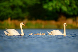 Mute swan (Cygnus olor) cygnets and parents swimming. London, UK. April  -  Oscar Dewhurst