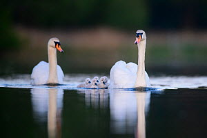 Mute swan (Cygnus olor) cygnets and parents swimming. London, UK. May  -  Oscar Dewhurst