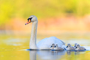 Mute swan (Cygnus olor) parent and cygnets swimming. London, UK. May  -  Oscar Dewhurst