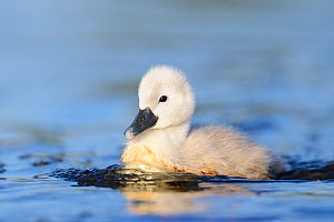 Mute swan (Cygnus olor) cygnet in the water. London, UK. May.  -  Oscar Dewhurst