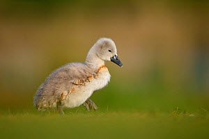 Mute swan (Cygnus olor) cygnet walking across short grass. London, UK. May  -  Oscar Dewhurst