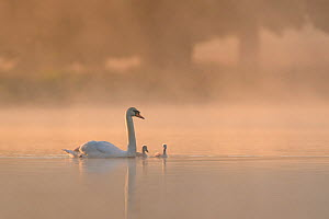 Mute swan (Cygnus olor) parent and cygnets on a misty lake at sunrise. London, UK. May.  -  Oscar Dewhurst