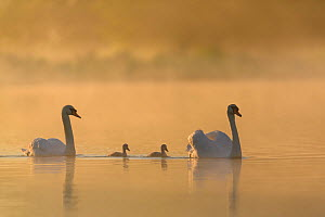 Mute swan (Cygnus olor) parents and cygnets on a misty lake at sunrise. London, UK. May  -  Oscar Dewhurst