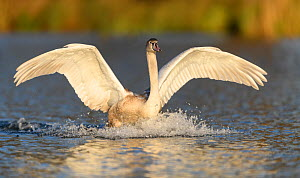 Mute swan (Cygnus olor) immature bird landing in the water. London, UK. November  -  Oscar Dewhurst