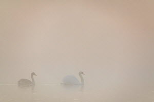 Mute swan (Cygnus olor) parent and immature bird swimming across a lake in early morning mist. London, UK. December  -  Oscar Dewhurst