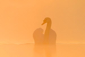 Mute swan (Cygnus olor) swimming across a lake, backlit through the mist at sunrise. London, UK. December.  -  Oscar Dewhurst