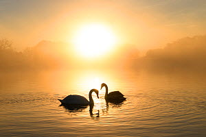 Mute swan (Cygnus olor) pair at sunrise. London, UK. December.  -  Oscar Dewhurst